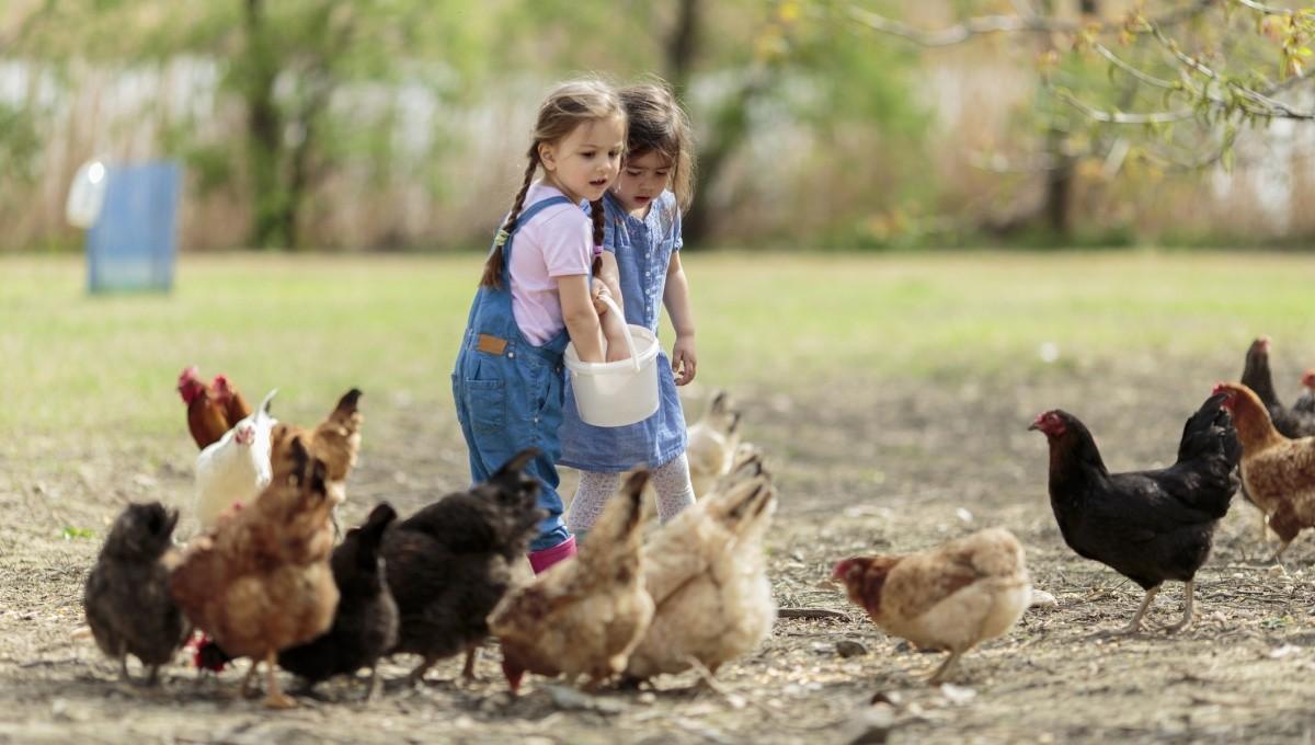 3e9eb6b518073b Warum gackern Hühner
