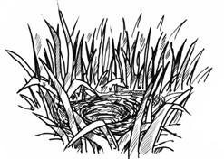 Illustration des Bodennestes einer Feldlerche