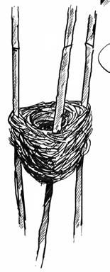 Illustration eines Teichrohrsänger-Nestes