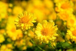 Gelbe Herbstchrysantheme