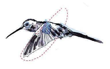 Illustration Kolibri Vorwärtsflug
