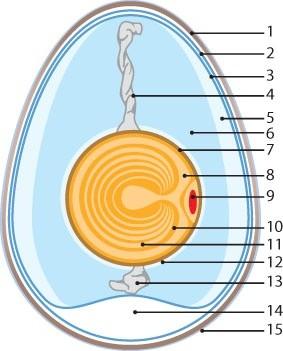 Grafik des Aufbaus eines Hühner-Eies
