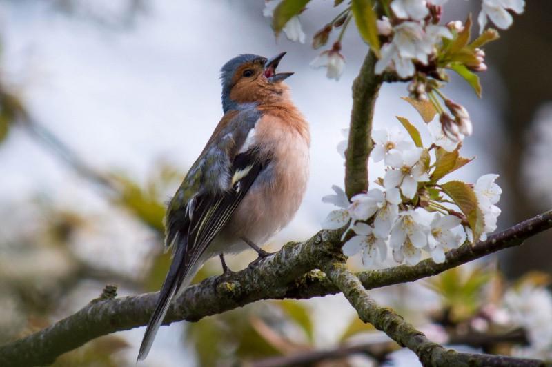 Buchfink-Männchen singt auf Ast