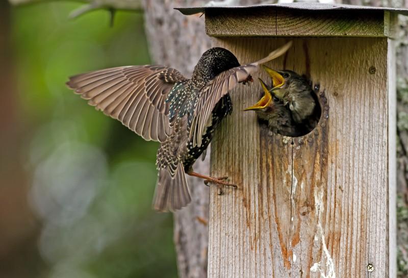 Star-Weibchen füttert Küken im Nistkasten