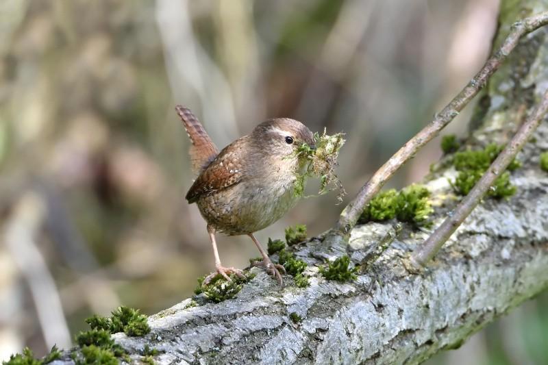 Zaunkönig beim Nestbau auf Ast