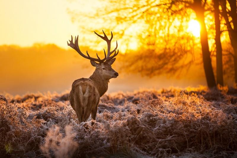 Rothirsch im Sonnenaufgang