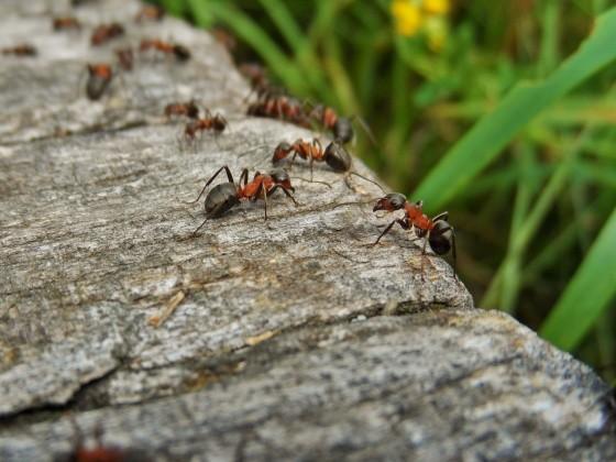 Ameisen auf einem Stein