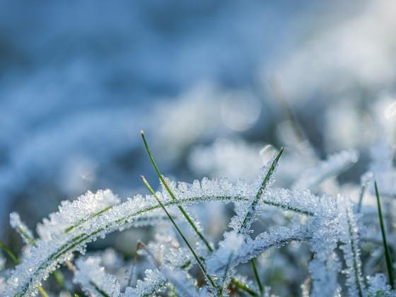 Grashalme im Schnee