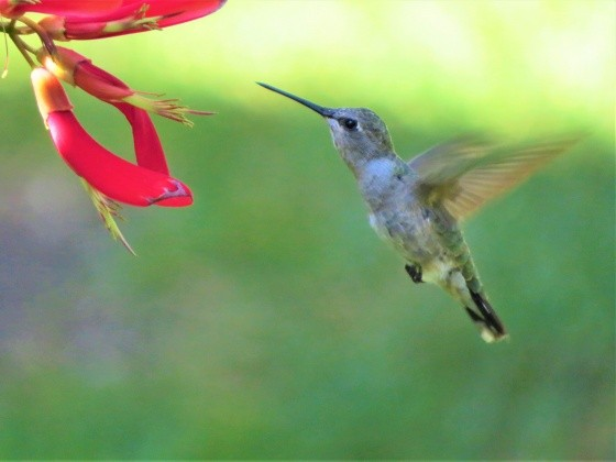 Kolibri im Flug vor einer Blüte