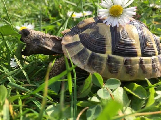 Schildkröte frisst ein Blatt