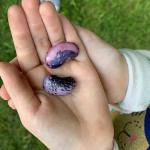 Feuerbohnensamen auf Kinderhand