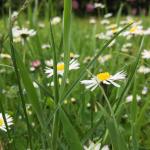 Gänseblumen auf Wiese
