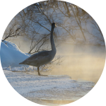 Schwan im Winter bei Nebel am Fluss