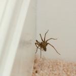 Spinne in Zimmerecke