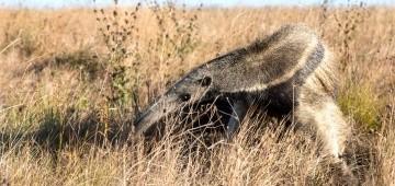 Ameisenbär in der Natur