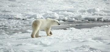 Eisbär im Schnee