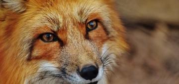 Porträt eines Fuchses