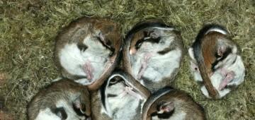 Sechs Gartenschläfer zusammengerollt im Nest