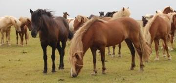 Eine Herde Islandpferde auf der Koppel