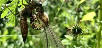 Libellenlarve verwandelt sich