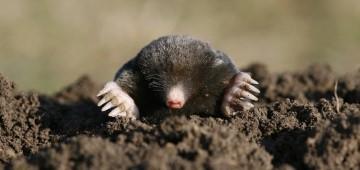 Maulwurf gräbt einen Maulwurfshügel