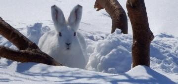 Weißer Hase im Schnee