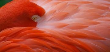 Flamingo steckt seinen Kopf zwischen sein Gefieder