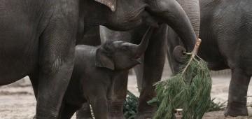 Elefanten fressen Tannenbaum