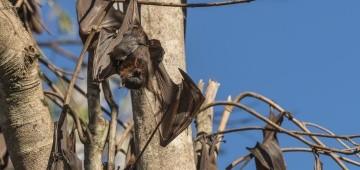 Fledermaus mit Baby im Baum