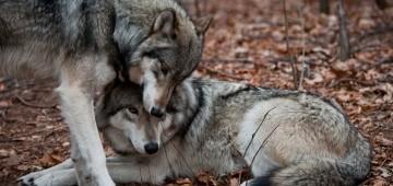 Zwei Wölfe schmusen miteinander
