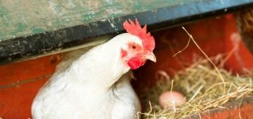 Huhn im Nest mit Ei